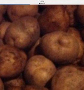 Картофель крупный  из деревни, хранился в погребе.