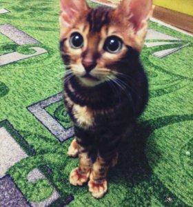 Продаётся бенгальский котенок