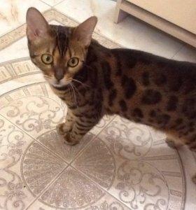 Бенгальская кошка ждёт кота для вязки
