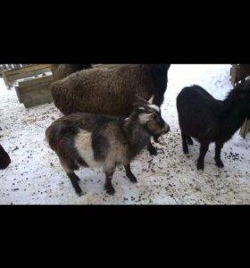 Коза и два козлёнка.