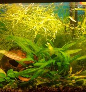 Водоросли аквариумные