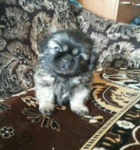 Продам щенка
