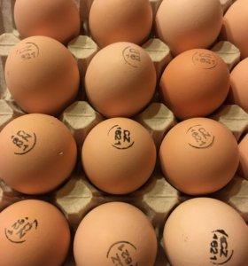Инкубационные яйца кобб-500