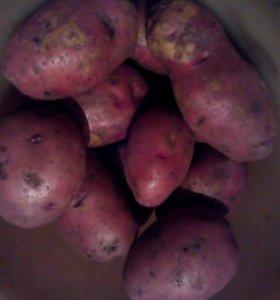 Картофель сорт Розара.