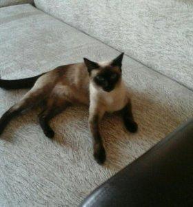 Тайская кошка замуж