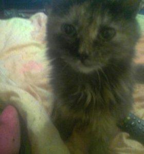 Сиамскую кошочку