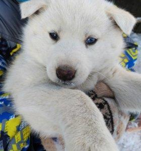 Продам щенков хаски,2 месяца