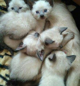 Котята тайские