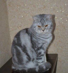 Британский кот, вязка , котята 🐾