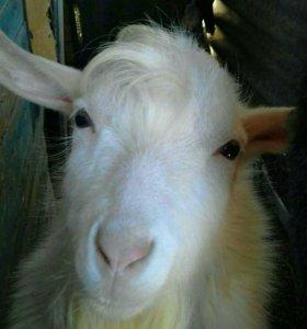 Продается безрогий козел