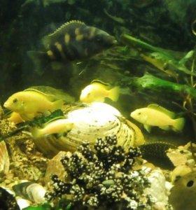 Аквариумные рыбки цыхлиды