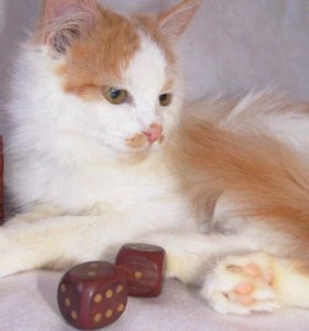 Алиса - милая кошка - в дар