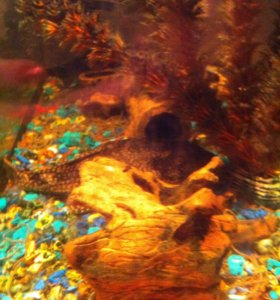 Рыбы /сом и окула