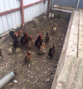 Карликовые курицы