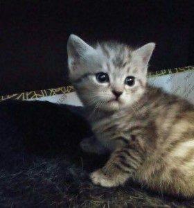 Продам шотландского котёнка.