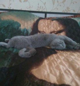 Кошка британка на вязку
