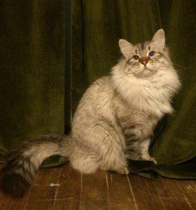 Кот Сибирский