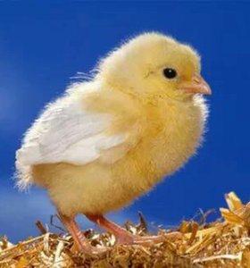 Утята, гусята и цыплята под заказ