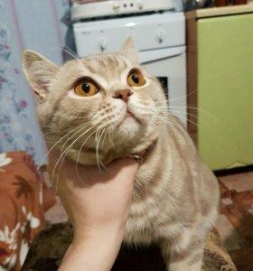 Вязка шотландского,прямоухого кота