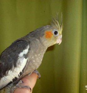 Птенцы попугая Корелла (нимфа)