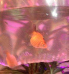 Золотая рыбка ( жемчужинка)