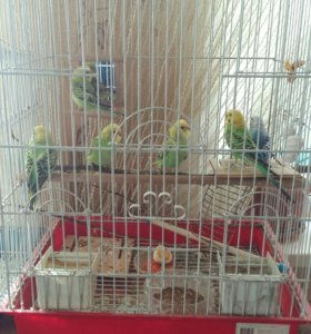 Попугайчики разведенные в домашних условиях