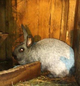 Кролики серебро и ризен