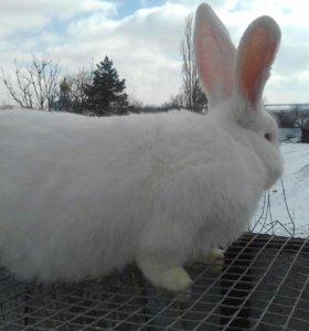 Кролики (белый великан)
