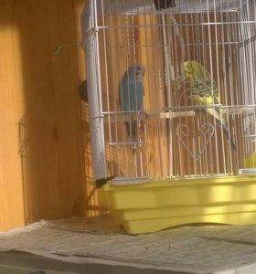 Попугаи волнистые пара мальчик и девочка