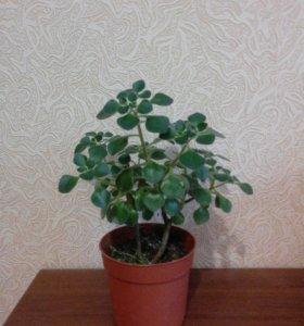 Аихризон ,, дерево любви,,