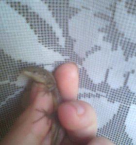 Лесные ящерицы