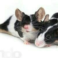 Японские мышки.