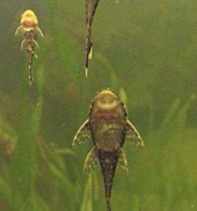 Рыбки сомик анцитрус