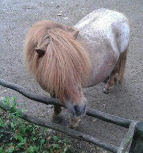 Домашний пони