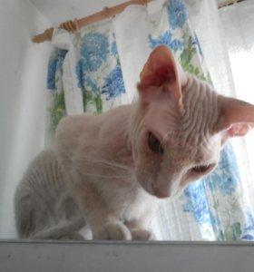 Вязка с котом Донской Сфинкс