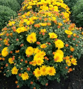 Саженцы хризантем мультифлора