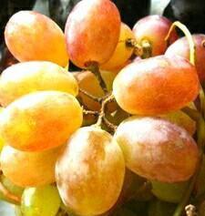 Виноград Тайфи из узбекистана