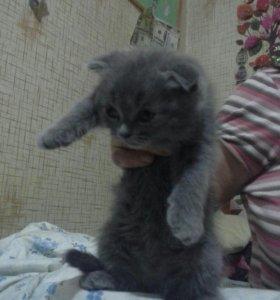 Британский вислоухий котёнок мальчик