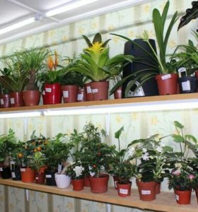 Продажа комнатных - горшечных цветов (растений)