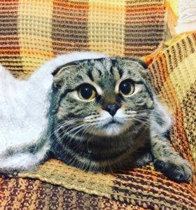 Нужен шотландский кот для вязки