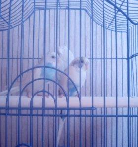 СРОЧНО продам Попугаеав-неразлучников