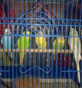 Попугайчики малыши