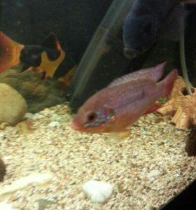 3 нерестящие рыбки хромиса