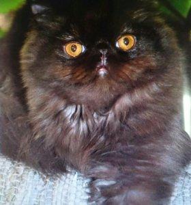 Персидский котик