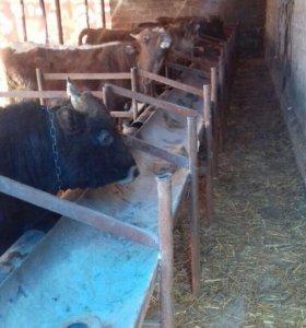 17 бычков