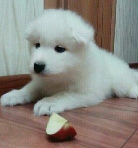 Самоед щенок