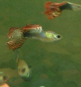 Рыбки аквариумные гуппи