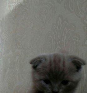 Кошка Шатландская вислоухая