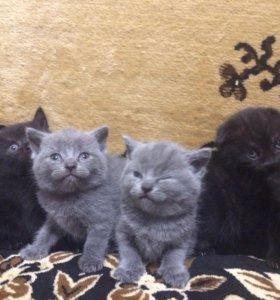 Шотландские котята (Scottish strite,Scottish fold)