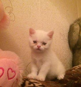 Красивый котёнок перс-экзот